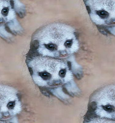 Meerkat Babies Background