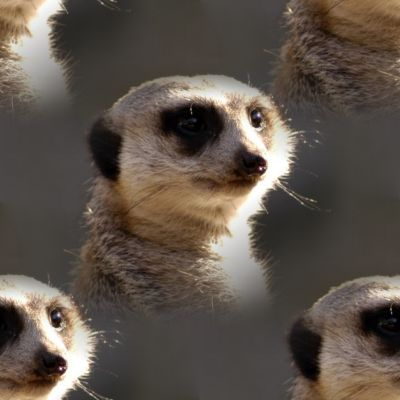 Beautiful Single Meerkat Portrait Background