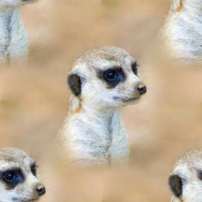 Baby Meerkat Portrait Background