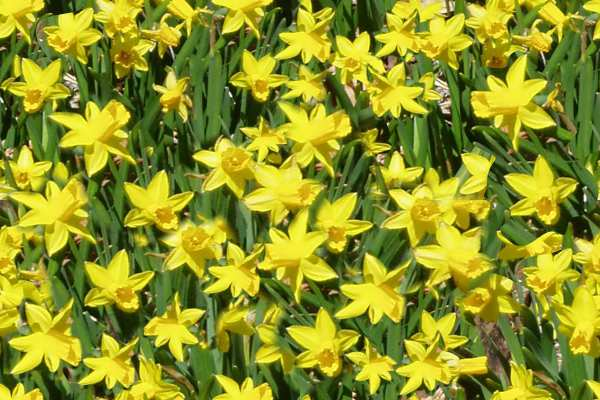 Daffodils Seamless Background Tile
