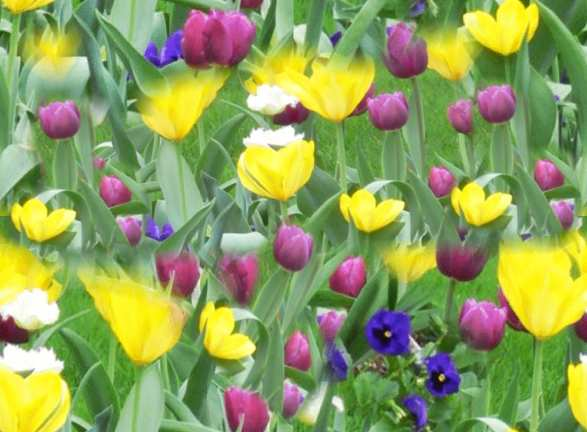 Yellow Tulips, Purple Tulips & blue Pansies Seamless Background Tile