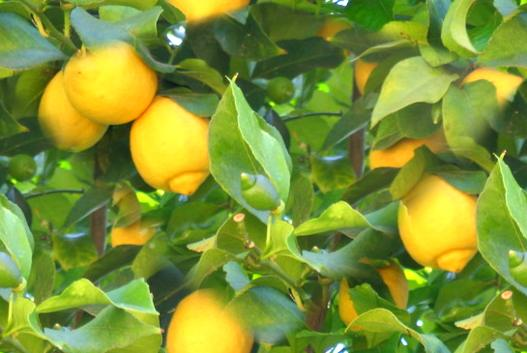 Lemon Tree With Lemons Seamless Background Tile