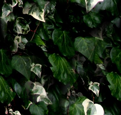 Variegated Ivy Leaves Seamless Background