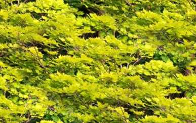 Gold Acer Tree Forest Background Tile Picture Image