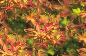 Autumn Acer Maple Seamless Background Tile Picture Image