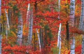 Autumn Forest Birch Seamless Background Tile Image Picture