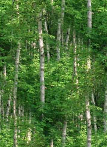 Birch Forest Background Tile Picture Image