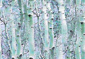 Winter Birch Forest Seamless Background Tile Picture Image