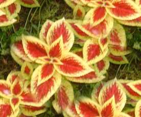 Coleus Colors Seamless Background Tile Image Picture