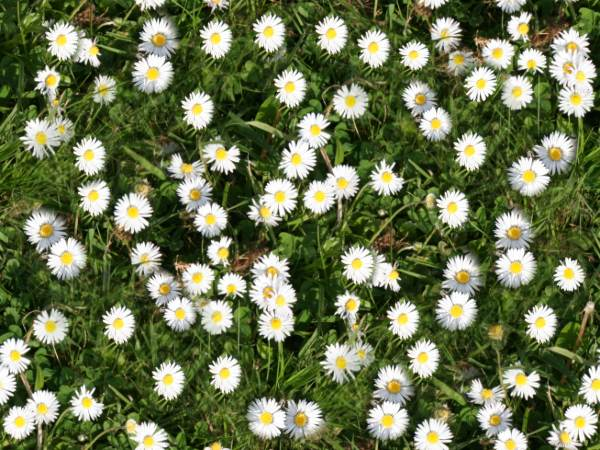 Daisy Grass Repeating Seamless Background