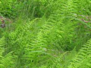 Fern Ground Fern Seamless Background