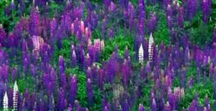 Lupin Meadow Garden Seamless Background Tile