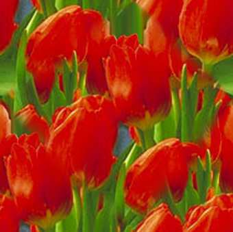 Tulip Red Tulip Seamless Background Tile Image Picture