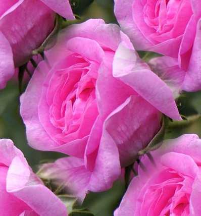 Pink Rose Pink Seamless Background Tile Image