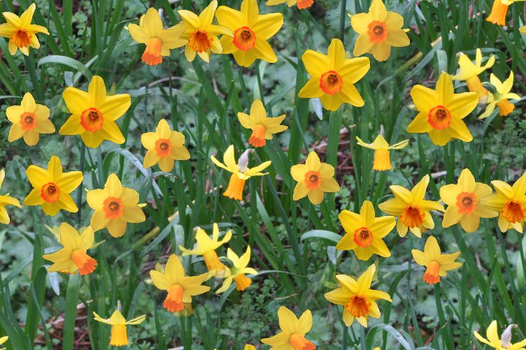 Natural daffodils seamless background image