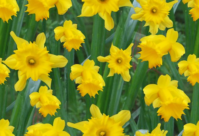 Golden Daffodils Seamless Repeating Background Image