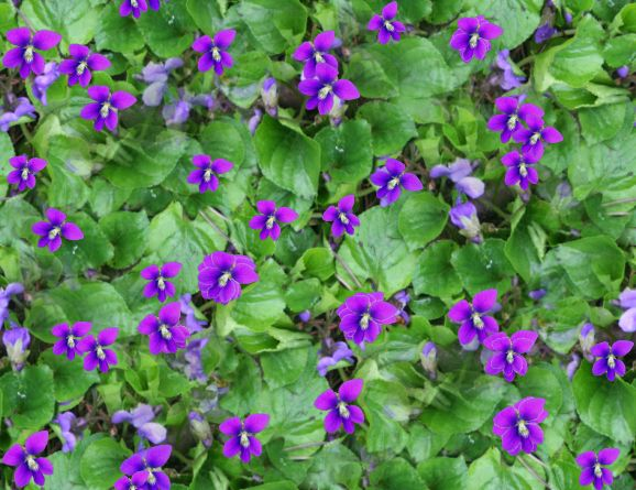 Violets Spring Seamless Repeating Background Image